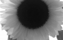 Sunflower B&W 3